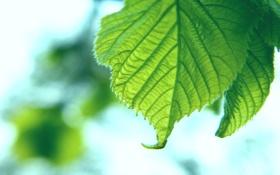 Обои листья, листки, листок
