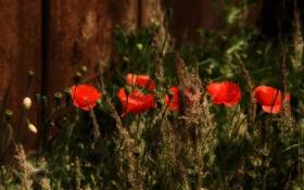 Картинка трава, маки, сад, двор