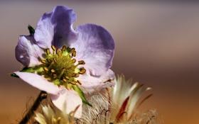 Обои цветок, макро, сиреневый, солнечно