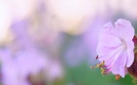 Обои макро, цветы, Pink Geranium