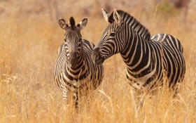 Обои трава, саванна, зебры