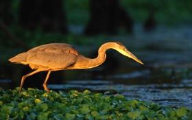 Обои река, птица, кувшинки