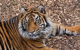 Обои дикая кошка, полоски, тигр, морда, отдых, лапы, хищник