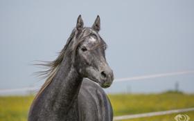 Обои морда, серый, конь, лошадь, грива, (с) OliverSeitz