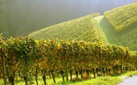 Обои вверх, плантации, виноградники, полдень, угор