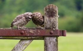 Обои птицы, природа, совы, разговор