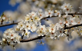 Обои ветки, дерево, весна, яблоня, цветки