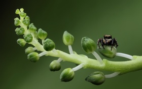 Обои зеленый, green, стебли, паук, spider, бутоны, buds