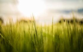 Картинка колоски, весна, поле, макро
