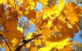 Обои осень, желтый, клен