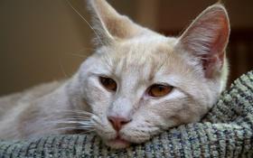 Обои кошка, кот, лежит, cat, карие глаза