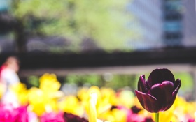 Обои цветок, тюльпан, лепестки