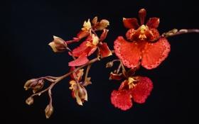 Обои макро, темный фон, ветка, красные, орхидеи