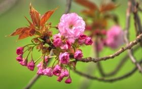 Обои листья, бутоны, весна, цветение, ветка, цветы