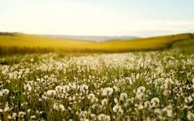Картинка поле, лето, природа, одуванчики