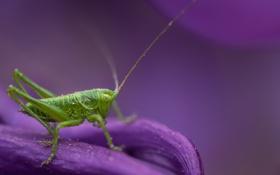 Обои лепестки, насекомое, кузнечик