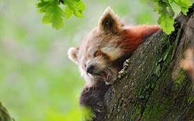 Обои на дереве, сонная, зивает, red panda, fire fox, панда красная