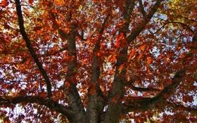 Обои осень, дерево, дуб, Oakfall