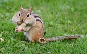 Обои травка, орешки, маленький жадина