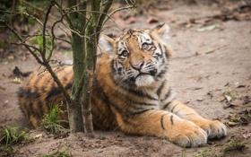 Обои кошка, трава, взгляд, ветки, тигр, котёнок, тигрёнок