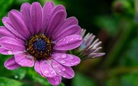 Обои капли, цветок, вода, макро, роса