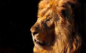 Картинка морда, хищник, лев, грива