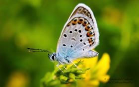 Картинка животные, природа, Бабочка, Насекомые, Марко, Голубянка
