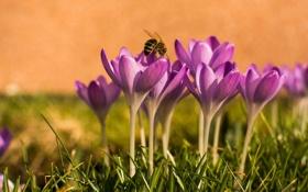 Обои весна, пчела, крокусы