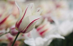 Картинка белый, макро, красный, тюльпан, Цветок, flower