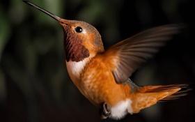 Обои птица, колибри, коричневый