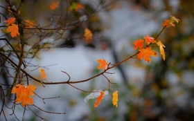 Картинка природа, капли, осень, ветка, листва