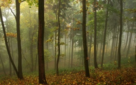 Обои осень, лес, листья, туман, пасмурно, утро, жёлтые