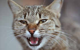 Обои кошка, Кот, клыки, cat, мордаха
