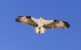Обои птица, крылья, полет, небо