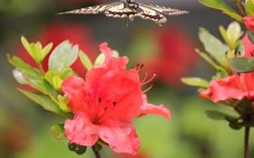 Обои красные, бабочка, в полете, цветы
