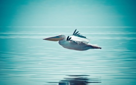 Обои вода, полёт, Пеликан