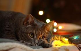Обои глаза, кровать, боке, лежит, гирлянда, взгляд, кошка