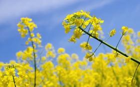 Картинка поле, цветы, растение, рапс