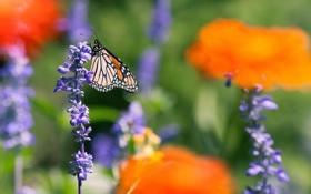 Обои полевые, бабочка, цветы, лето