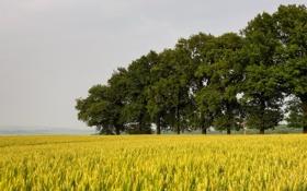Картинка поле, деревья, пейзаж, колосья