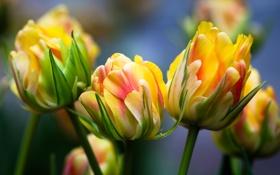 Картинка бутоны, тюльпаны, макро