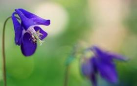 Обои природа, Purple Columbines, макро, цветы