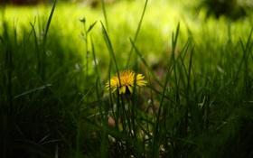 Обои весна, желтый, трава, одуванчик, зелень, размытость