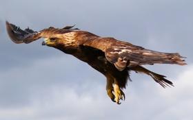 Картинка орёл, птица, полёт, небо
