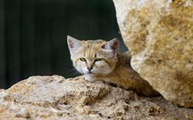 Картинка кошка, камни, песчаный кот, ©Tambako The Jaguar, барханная кошка