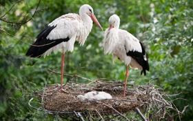 Обои птицы, семья, гнездо, аисты
