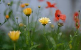 Картинка поле, цветы, мак, луг