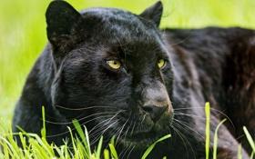 Обои кошка, морда, пантера, черный леопард, ©Tambako The Jaguar