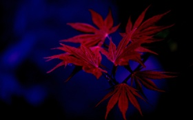Картинка листья, фон, осень, природа, клен
