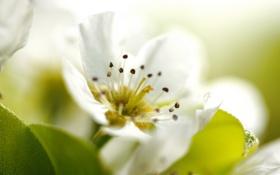 Обои цветок, белый, лепестки, макро, яблоня, тычинки